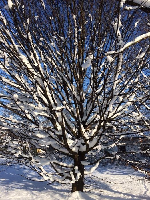 Januarbaum